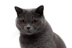 一只灰色猫的画象在白色背景的 库存图片