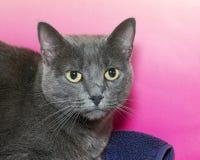 一只灰色短发Chartreux虎斑猫的画象 免版税库存图片