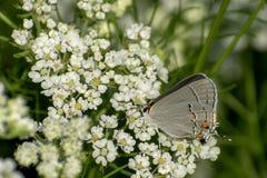 一只灰色翅上有细纹的蝶蝴蝶坐白色野花 免版税图库摄影