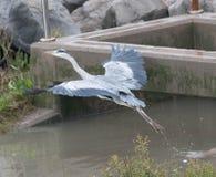 一只灰色苍鹭离开 图库摄影