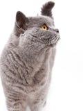 一只灰色英国猫的画象 免版税库存图片