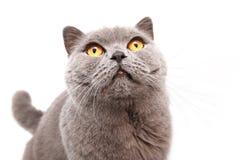 一只灰色英国猫的画象 免版税图库摄影