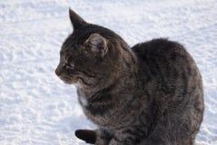 一只灰色虎斑猫坐雪 库存照片