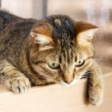 一只灰色虎斑猫 免版税库存照片