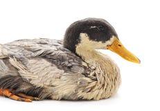 一只灰色鸭子 免版税库存图片