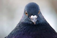 一只灰色鸽子的画象 免版税库存照片