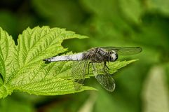 一只灰色蜻蜓坐一片绿色莓叶子 免版税库存图片