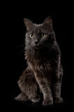 一只灰色Nebelung猫的画象 免版税库存图片