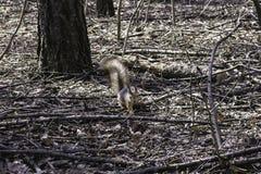 一只灰鼠在森林里 免版税库存图片