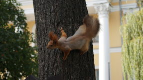 一只灰鼠的照片在树的 图库摄影
