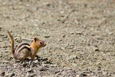 一只灰鼠花栗鼠的旁边射击与它的` s盯梢  射击在火山口湖国家公园,俄勒冈,美国 库存图片