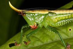 一只热带蚂蚱的特写镜头画象 库存图片
