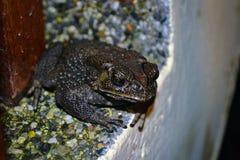 一只热带黑青蛙的细节坐一个混凝土墙 免版税图库摄影
