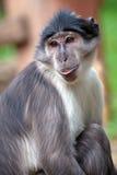 一只煤烟灰白眉猴的画象 免版税图库摄影