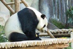 一只熊猫的图象在自然背景的 库存图片