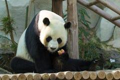 一只熊猫的图象在自然背景的 图库摄影