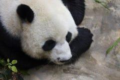一只熊猫的图象在自然背景的 免版税库存照片