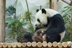 一只熊猫的图象在自然背景的 库存照片