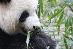 一只熊猫 免版税库存照片