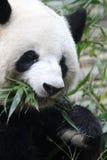 一只熊猫 图库摄影