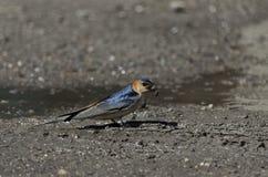一只燕子做一个夏天 免版税库存图片