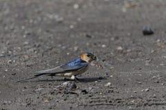 一只燕子做一个夏天 图库摄影