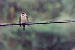 一只燕子在雨中在夏天 免版税库存图片