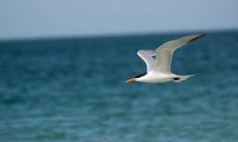 一只燕鸥在佛罗里达 库存照片