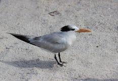 一只燕鸥在佛罗里达 免版税库存图片