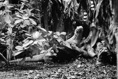 一只爬行动物在他的自然生态环境 库存图片