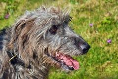 一只爱尔兰猎犬的旁边外形 库存图片