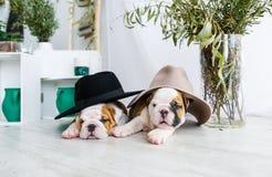 一只牛头犬的两只小狗在帽子的 免版税库存照片