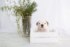 一只牛头犬的小狗在白色箱子的 免版税图库摄影