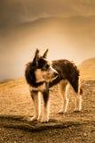 一只牧羊犬的画象在一个喀尔巴阡山脉的风景的 免版税库存照片