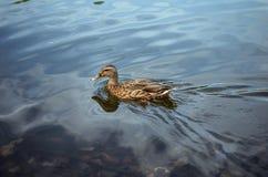 一只狂放的灰色鸭子游泳在湖 免版税库存图片