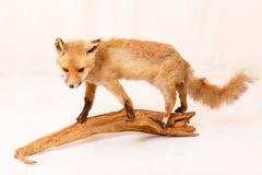 一只狐狸 图库摄影