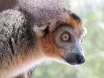 一只狐猴在一个深森林里 免版税库存图片