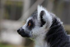 一只狐猴 免版税库存照片