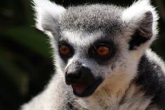 一只狐猴 免版税图库摄影