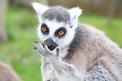 一只狐猴 免版税库存图片