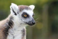 一只狐猴 库存图片