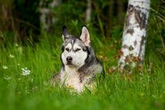 一只狗品种阿拉斯加的爱斯基摩狗 免版税图库摄影