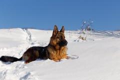 一只狗德国牧羊犬的画象雪的 图库摄影