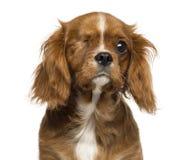 一只独眼的骑士查尔斯国王小狗的特写镜头 免版税图库摄影
