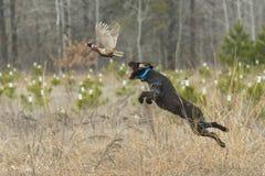 一只猎犬用野鸡 免版税库存照片