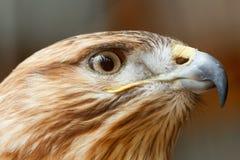 一只猎鹰鸟的头与巨大的额嘴的 免版税图库摄影