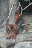一只猩猩 图库摄影