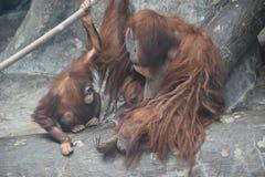 一只猩猩 库存图片