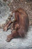 一只猩猩 免版税库存图片