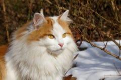一只猫在与雪的冬天 库存图片